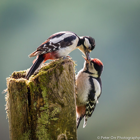 Great Spotted Woodpecker Mother and Baby