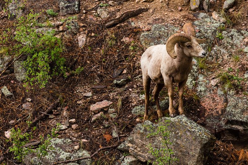 Rocky Mountain Big Horn Ram on mountainside, Rocky Mountains, CO Spring