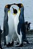 King penguin trio