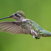 Ruby-Throated Hummingbird 8/18/16