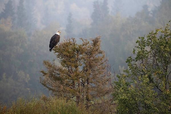 Bald Eagle | Katmai National Park | Alaska