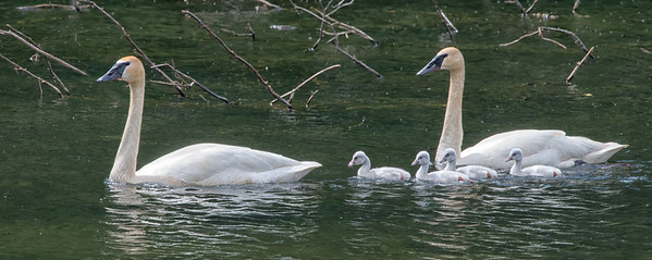 There are four cygnets plying the pond at 38 mile Haines Highway.