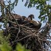 Bald Eagle with Juvenile Eagles in Nest