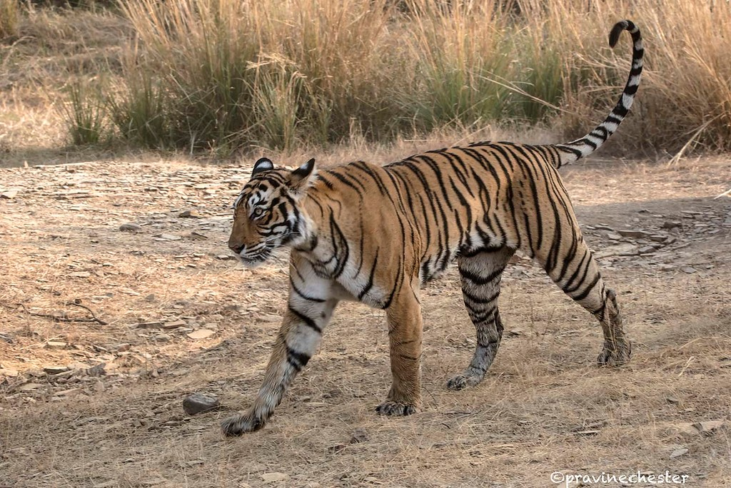 Tigress on the Move