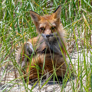 A Red Fox in the Beach Dunes in Ocean Grove 6/4/19