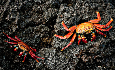 Sally Lightfoot crabs - Las Bachas, Santa Cruz