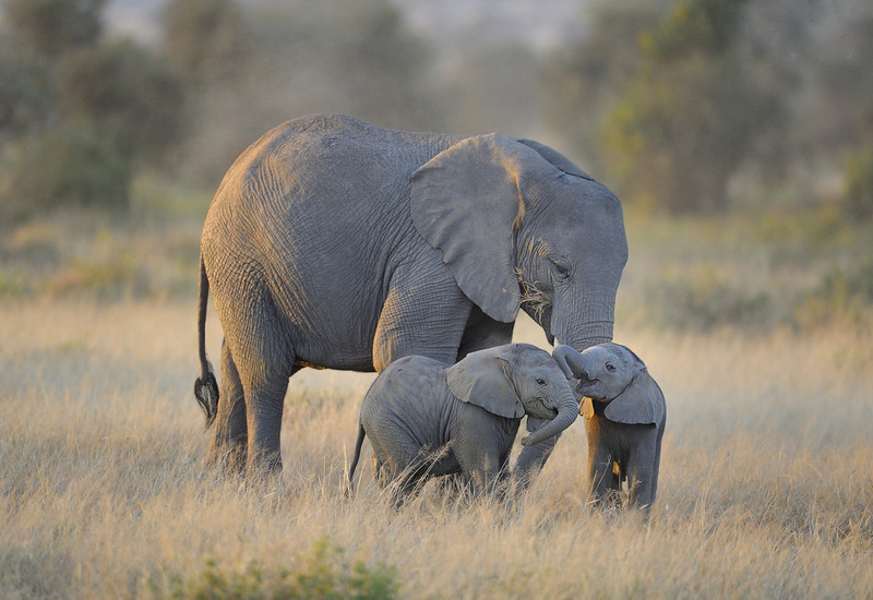 Baby Elephant Twins with Mother in Amboseli National Park, Kenya, East Africa