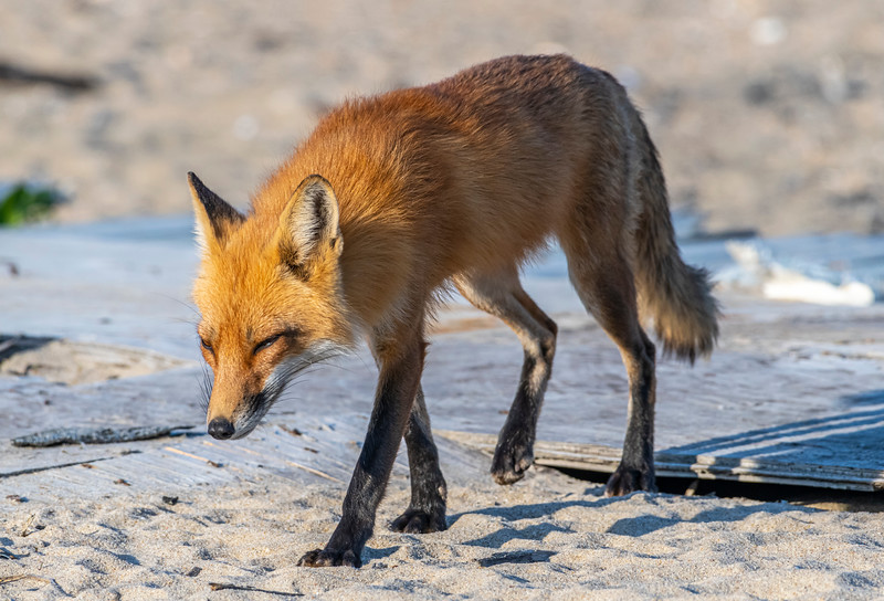A Mama Red Fox 5/18/21