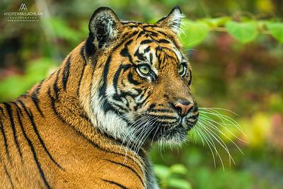 Sumatran Tiger (Panthera tigris sondaica) - captive