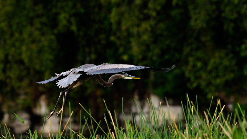 Startled by our quiet passing on the still water, this heron takes a short flight. Honduras 2016.