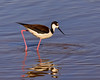 Black-necked Stilt Steppin' Out
