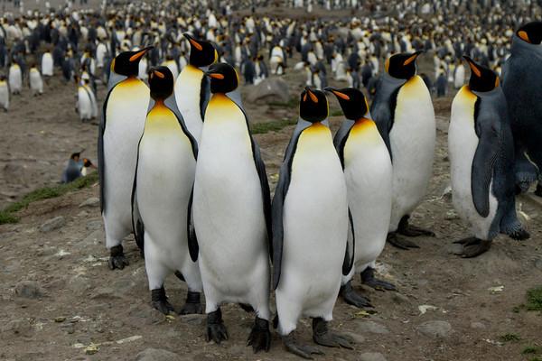 King penguin gang