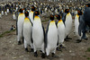 King penguin gang