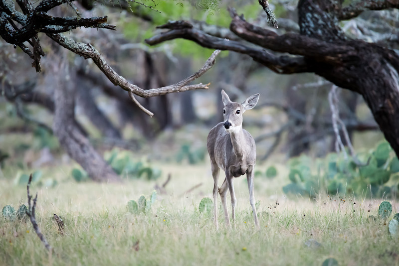 Doe in the Trees