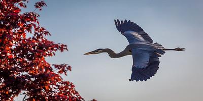 Soaring Heron