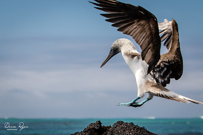 Approaching for landing, Blue-footed Booby