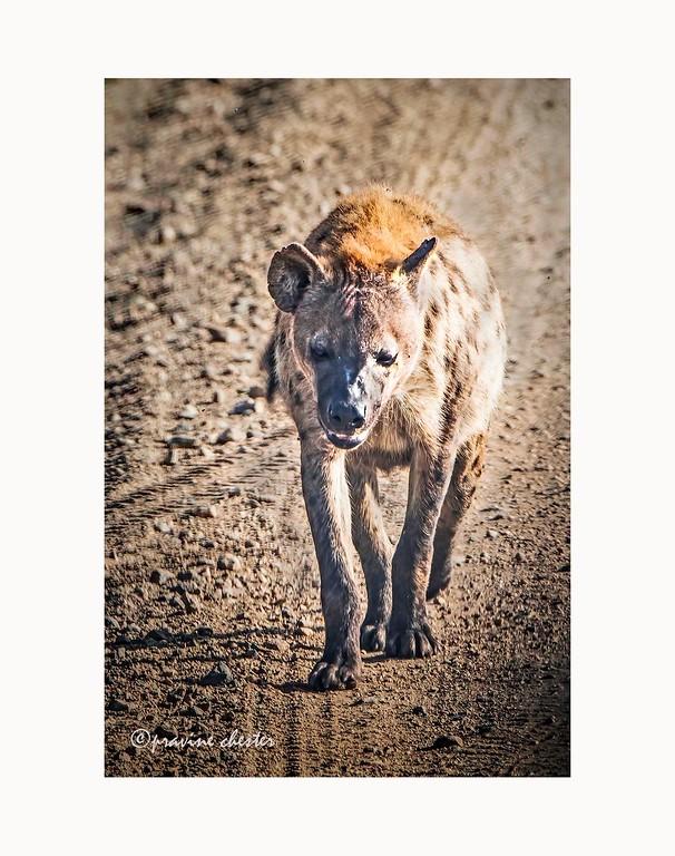 Hyena on the move