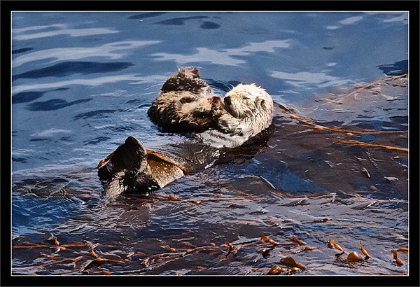 Grooming Time  A sea otter mother, anchored in kelp, pulls in her pup for some head grooming. (The ball of fur is the pup.)  Grooming helps to keep themselves warm.  Pt. Lobos State Reserve Carmel, California  20-MAR-2010