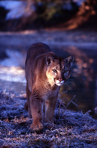 This photo of a mountain lion as it walks into the sunlight won an award the year it was taken.  Shot in Montana near Glacier National Park.