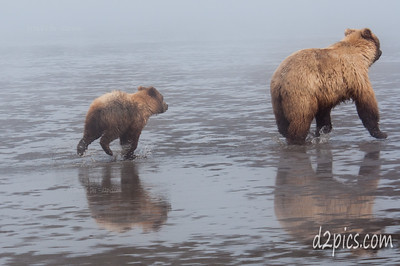 Bears Running in the Mud!