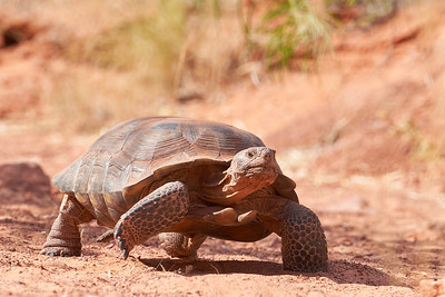 Desert Tortoise in Snow Canyon