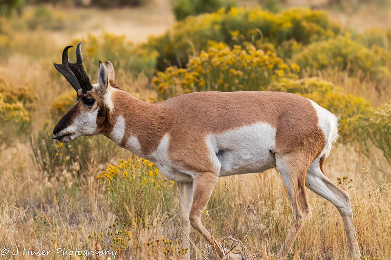 Sideview of male Pronghorn Antelope