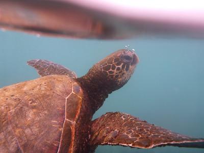 sea turtle - Isla Santa Maria (Floreana)