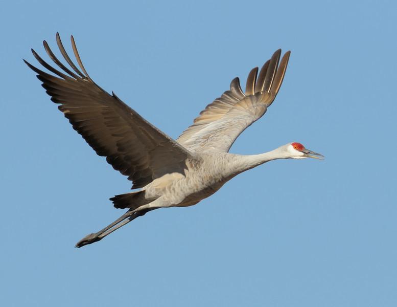 Sandhill Crane Wingspan
