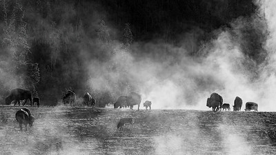 Fog, Steam and Bison