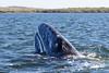 Grey whale calf