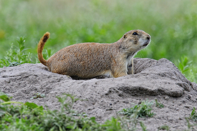 Prairie dog  Guarding his Burrow at Fort Niobrara National Wildlife Refuge near Valentine, Nebraska