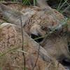 Hidden , Antelope fawn