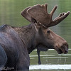 An Impressive Young Bull Moose in Mid-summer