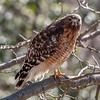 Red-Shouldered Hawk 2/14/19