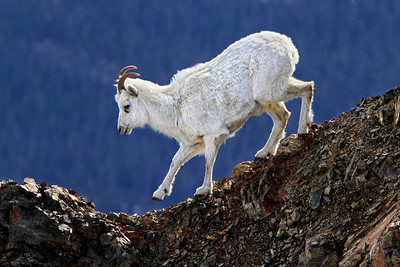 A Dall Sheep walks along a rock crag on the upper slopes of Sheep Mountain in Kluane National Park. May, 2013.
