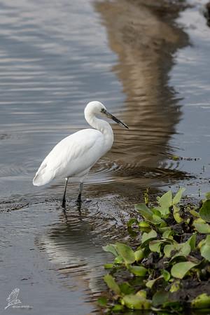 Egret, Little (spp. garzetta)