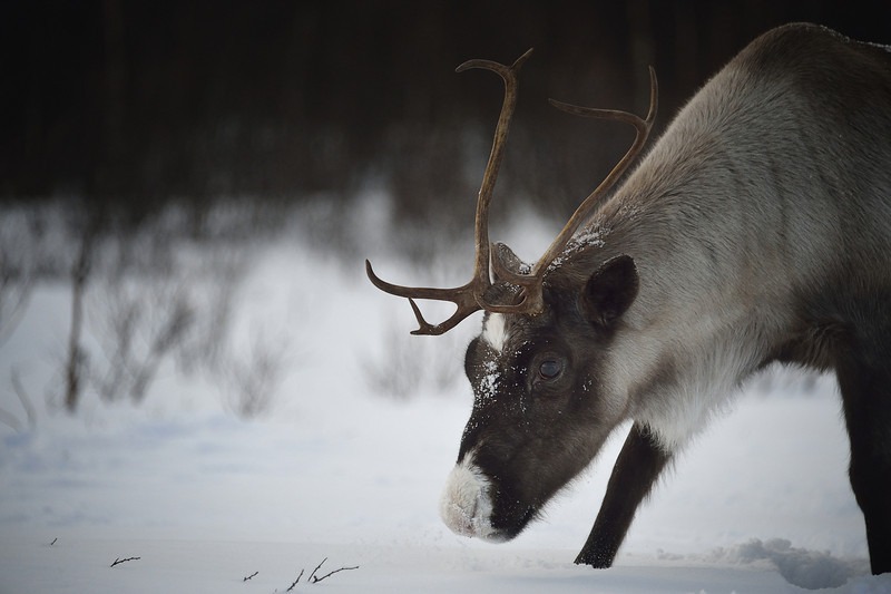 Reindeer in the Snow, Norway