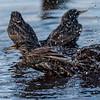 Bathing Starlings 1/26/17