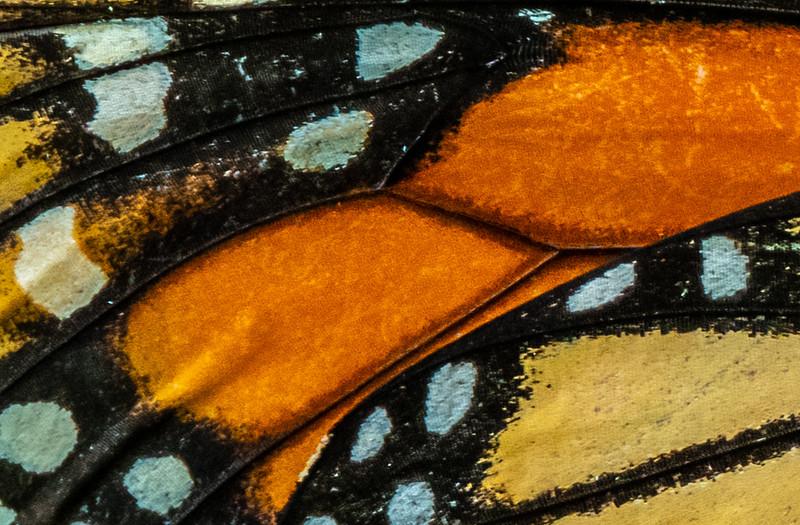 Monarch Butterfly Wing 8/6/19