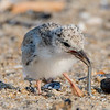 Least Tern Chick with Fish 6/27/16