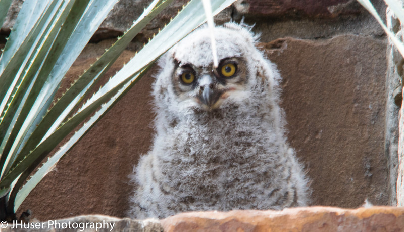 Five week old Great Horned Owl chick