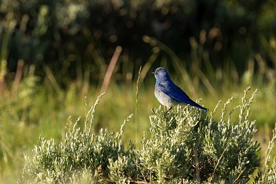 Eastern Bluebird at Sunrise