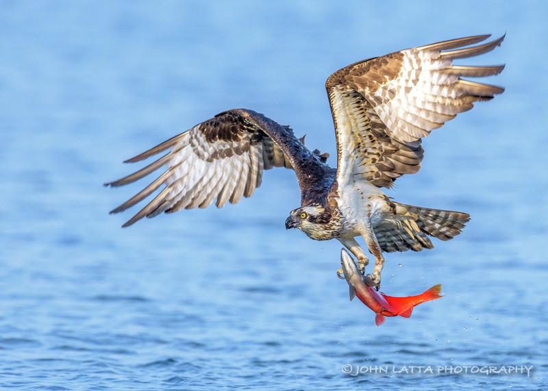 Osprey Catches Kokanee