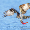 Osprey Catches Kokanee