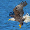 Bald Eagle Diving for Kokanee