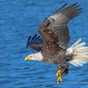 Bald Eagle Diving for Kokanee