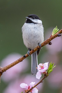 """A Rainy Day Chickadee"""
