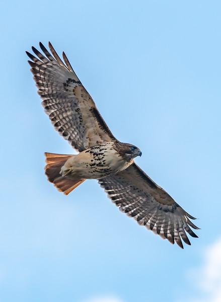 Red-Tailed Hawk in Flight 1/25/19