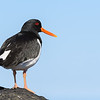 Oystercatcher looks out over Midfjordur fjord in North Iceland