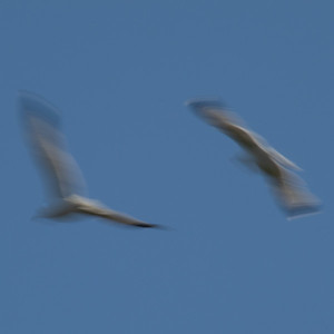 Seagulls In Flight_1